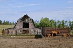 Beef cattle in front of an old rickety barn Royalty Free Stock Photography