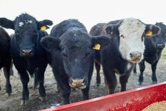 Beef cattle grouped around a feeding trough. Filled with dry animal feed to supplement their winter grazing Royalty Free Stock Images