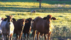 Beef cattle stock video