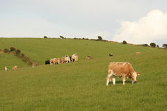 Beef cattle on irish hills royalty free stock photography