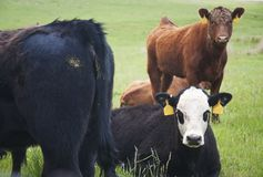 Beef Cattle Pasture Royalty Free Stock Image