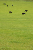 Beef Cattle in Pasture Stock Image