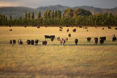 Beef cattle in pasture at sunset stock image