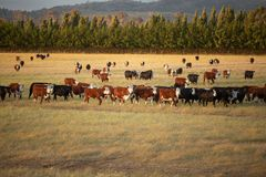 Beef cattle in pasture at sunset royalty free stock image