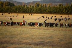 Beef cattle in pasture at sunset stock photos