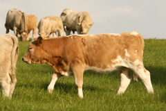 Beef cattle on the pastureland Royalty Free Stock Images