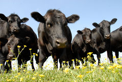 Beef Cattle Stare royalty free stock image