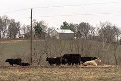 Beef cattle in a winter pasture in Appalachia. Beef cattle in a pasture on a grey winter day in Appalachia with a barn in the background royalty free stock photography