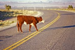 Beef cow crossing highway, open range farming, Monument Valley, UT Stock Images