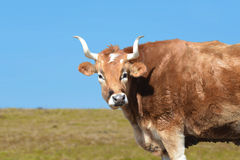 Beef cow grazing on pasture Royalty Free Stock Images