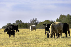 Beef cow herd in dormant pasture Royalty Free Stock Photos