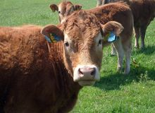 Beef cow portrait stock image