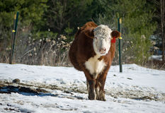 Beef Cow in Winter Stock Photos