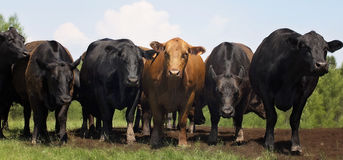 Beef Cows Royalty Free Stock Images