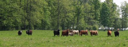 Beef cows with their calves in the spring meadow stock photography