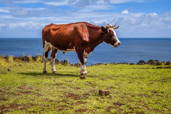 Beef on easter island cliffs Stock Photography