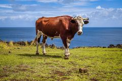 Beef on easter island cliffs Royalty Free Stock Photo