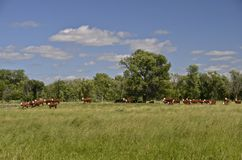 Beef herd grazing in pasture Stock Image