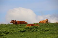 Beef on the prairie Royalty Free Stock Photography