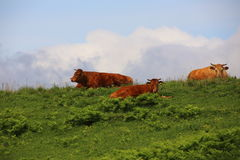 Beef on the prairie Stock Images