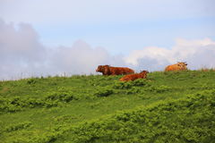 Beef on the prairie Royalty Free Stock Photo