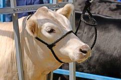 Beef Steers Royalty Free Stock Photo