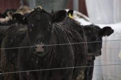 Beefers na neve imagem de stock