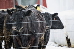 Beefers in the Snow Stock Image