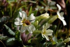 Beefly Fotografia Stock Libera da Diritti