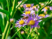 Beefly w wildflowers 1 zdjęcia royalty free