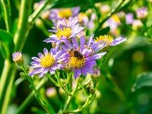 Beefly w wildflowers 2 obraz stock