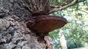 Beefsteak fungus Royalty Free Stock Image