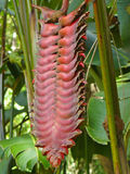 Beefsteak Heliconia Royalty Free Stock Photography