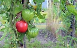 Beefsteak tomato. Also known as beef tomato stock image