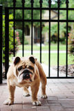 Beefy english bulldog on pavers Stock Photos