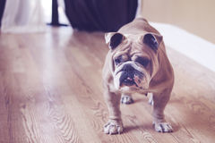 Beefy english bulldog on wood floor Royalty Free Stock Photos