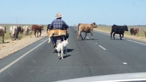 Beefy road. Drover on Motorbike with cattle dog Stock Photography
