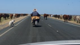 Beefy road. Drover on Motorbike with cattle dog Stock Photo