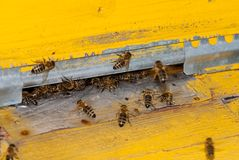 Beehive and bee. Bee family returns to the hive with honey Stock Photography