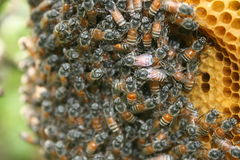 Beehive with bees. Beehive with honey bees, part of the hive exposed Stock Photos