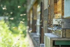 Beehive and bees. Entrance of a beehive with lots of bees in sunny ambiance Stock Photo