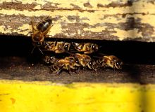 Beehive. Bees at the entrance of the hive Stock Photography