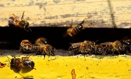 Beehive. Bees at the entrance of the hive Stock Images