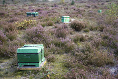 Beehive on the blooming heath in holland Stock Image