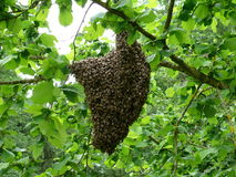 Beehive in green leaves. A beehive hanging on a branch among green leaves Royalty Free Stock Photo