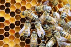 Beehive interior - honey bees working on a honeycomb stock photo