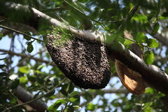 Beehive on a tree. Beehive high on a branch in tree Stock Image
