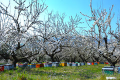 Beehives in almond trees Royalty Free Stock Image