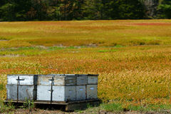 Beehives and bees in blueberry field. Several commercial beehives set in a blueberry field with the forest in the background Royalty Free Stock Photography
