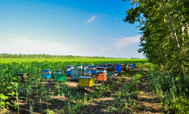 Beehives boxes in the field of honey plants Royalty Free Stock Images